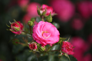 Rosa 'George Lawrence Price'