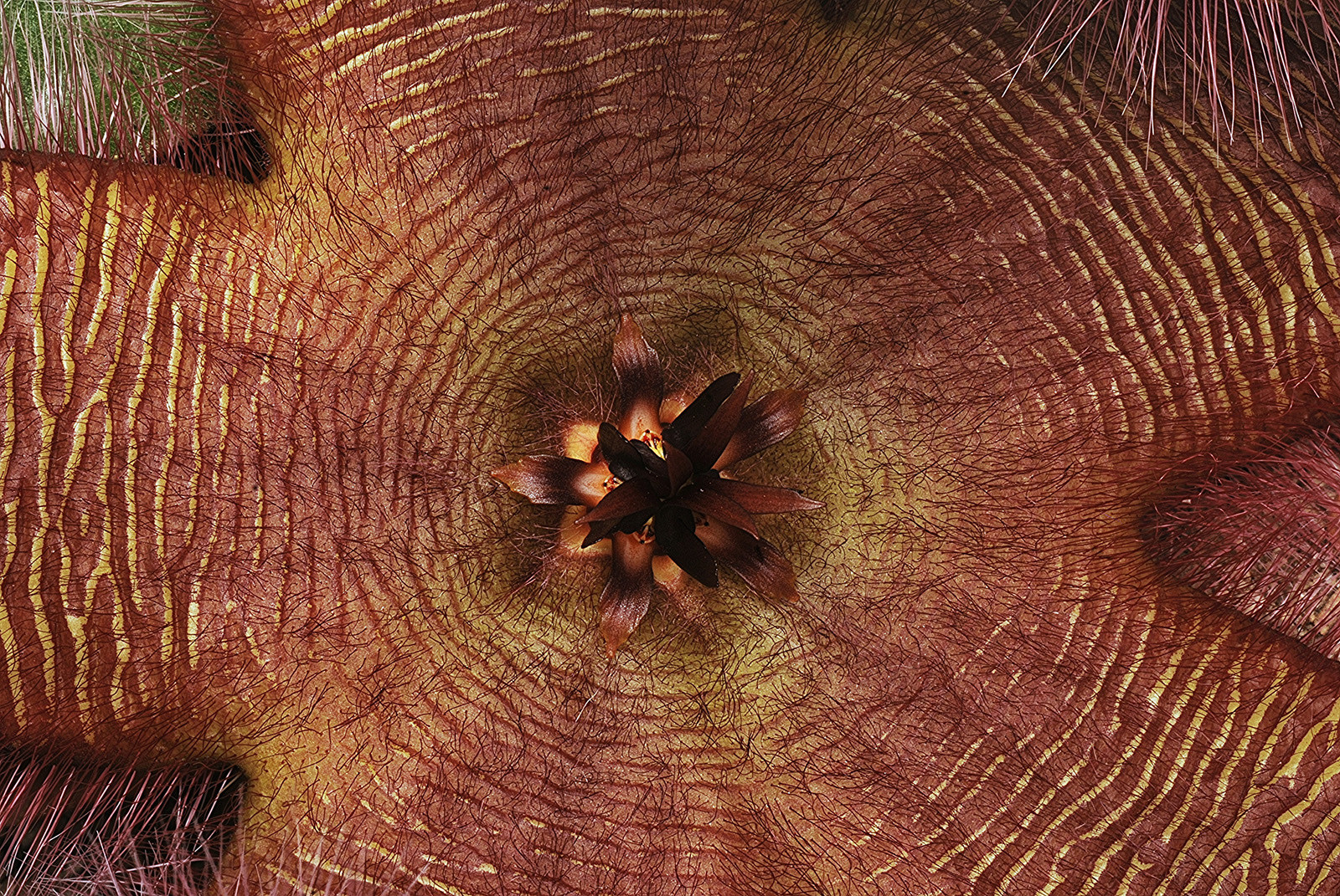 Close-up of <i>Stapelia grandiflora</i>