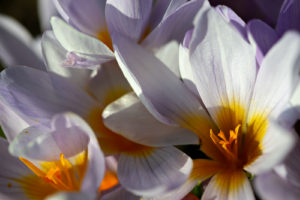 The flowers of Crocus rujanensis