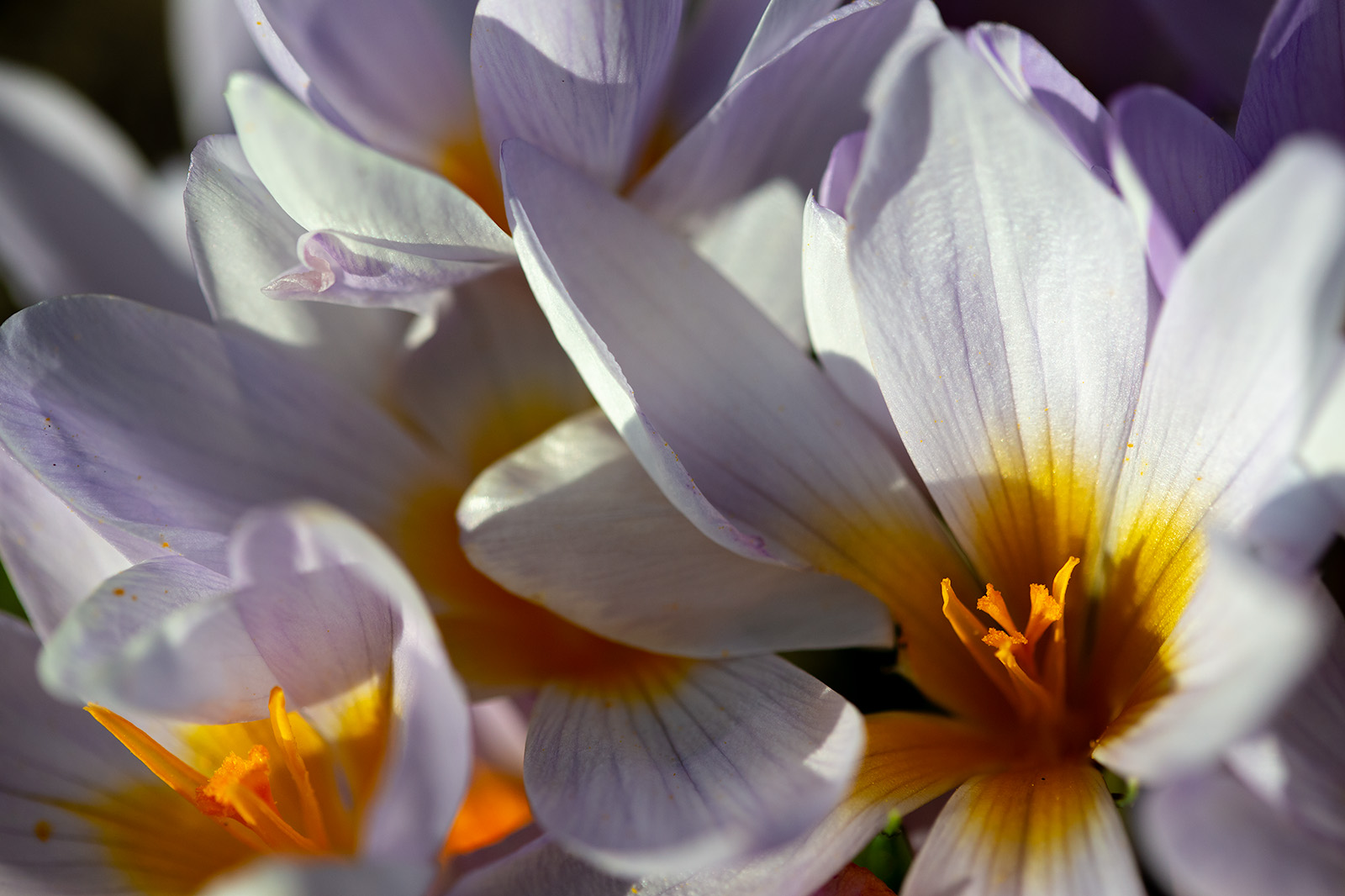 The flowers of <i>Crocus rujanensis</i>