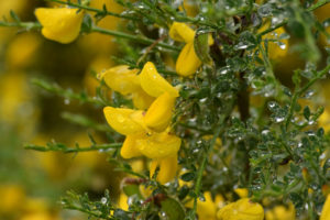 Close-up of Cytisus scoparius
