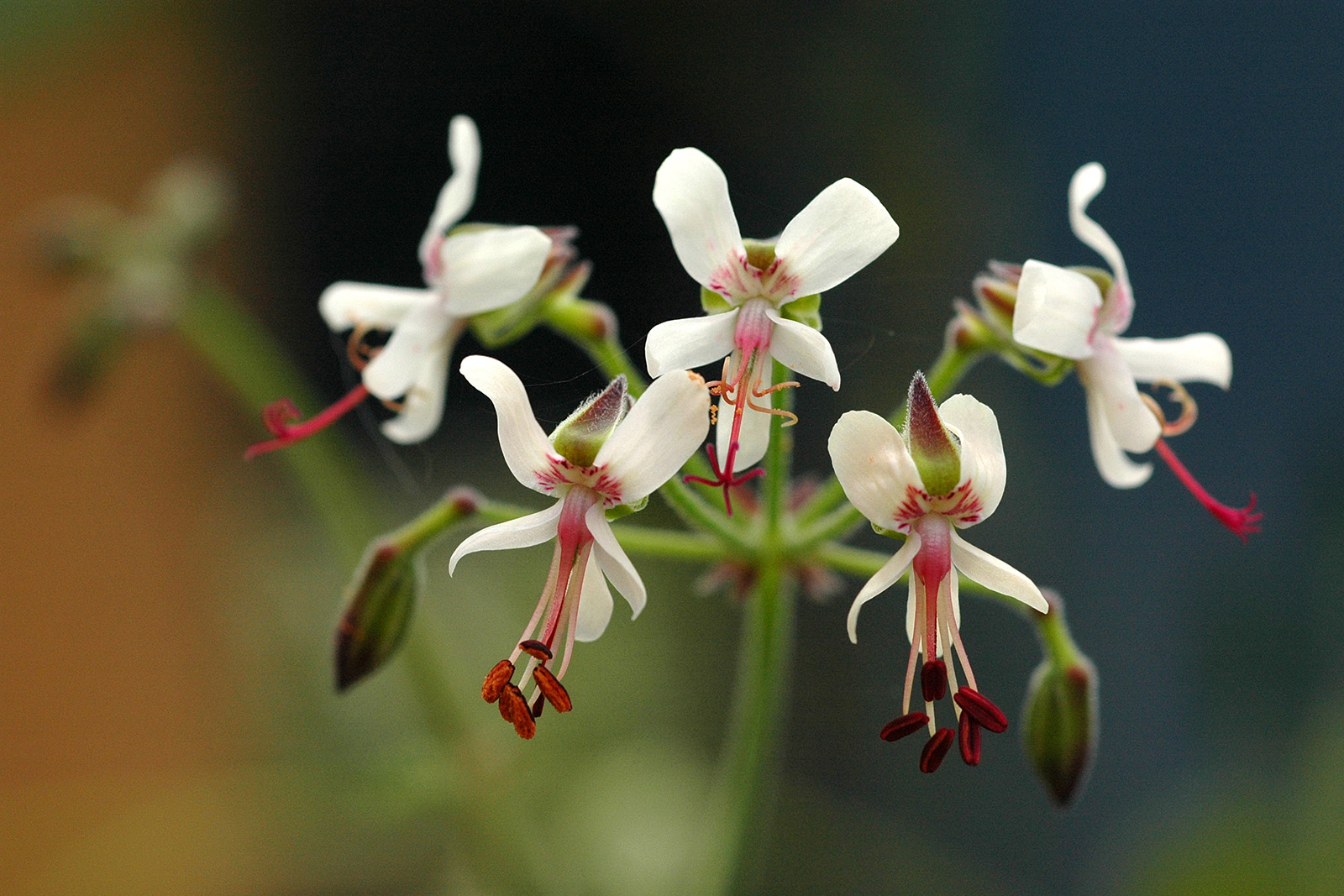 Flowers of <i>Pelargonium carnosum</i>