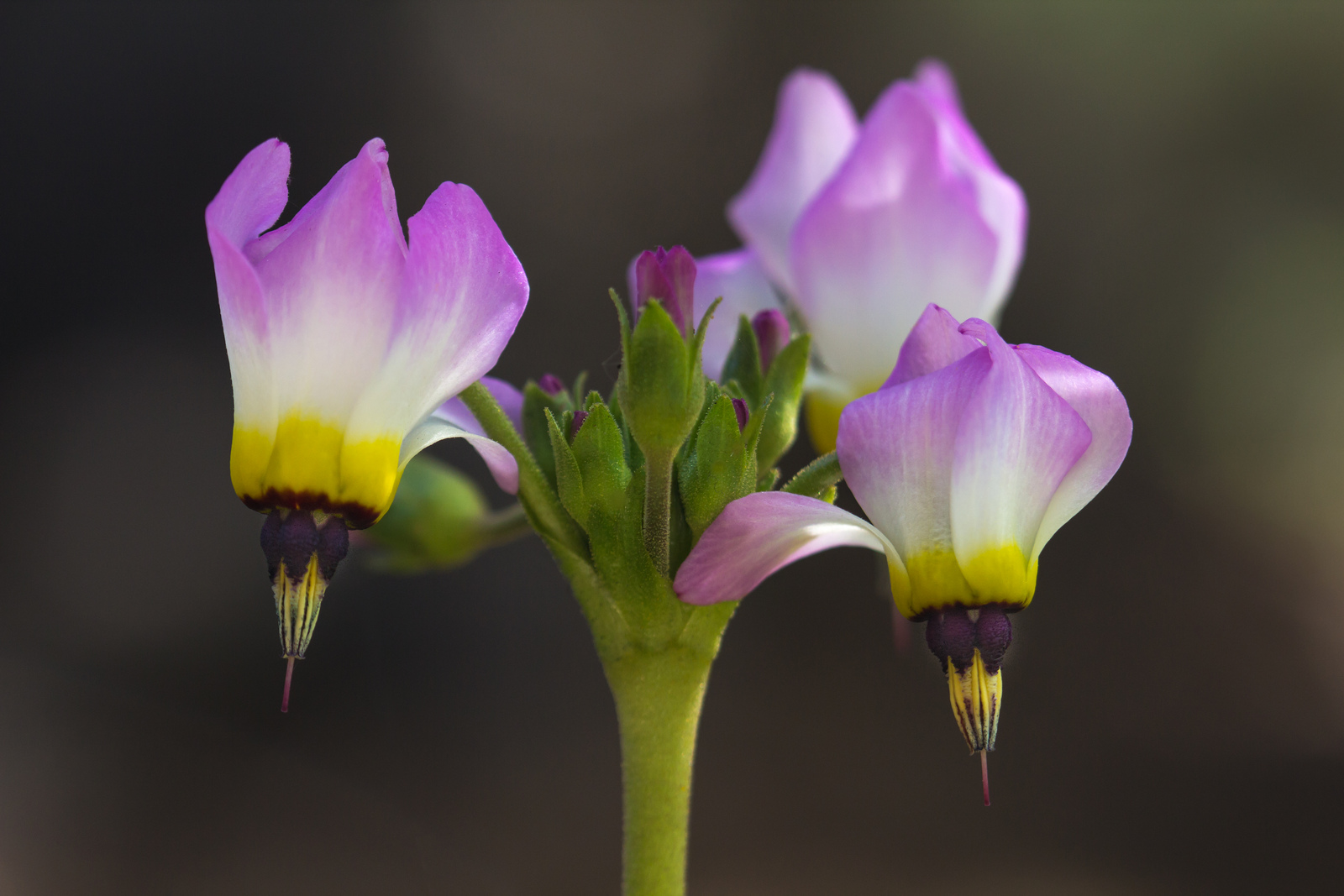 Close-up of the flowers of <i>Primula tetrandra</i>