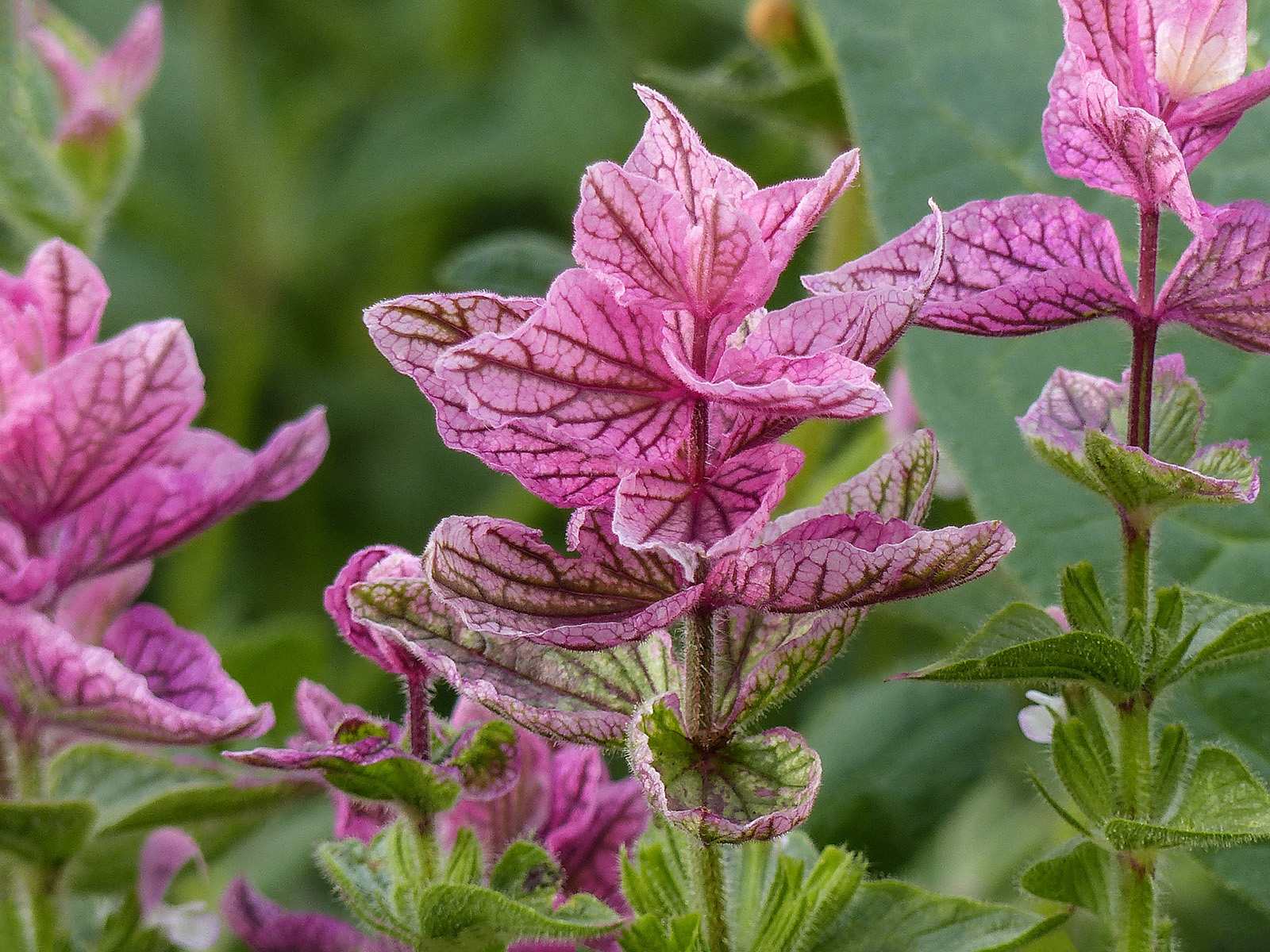 The bright bracts of <i>Salvia viridis</i> 'Pink Sundae'