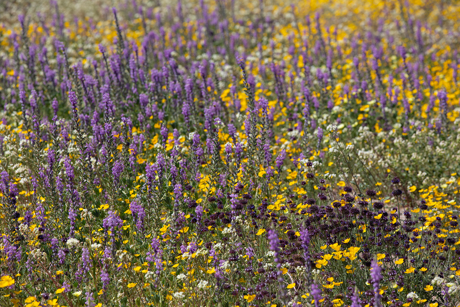 An Assortment of Colours of California Wildflowers