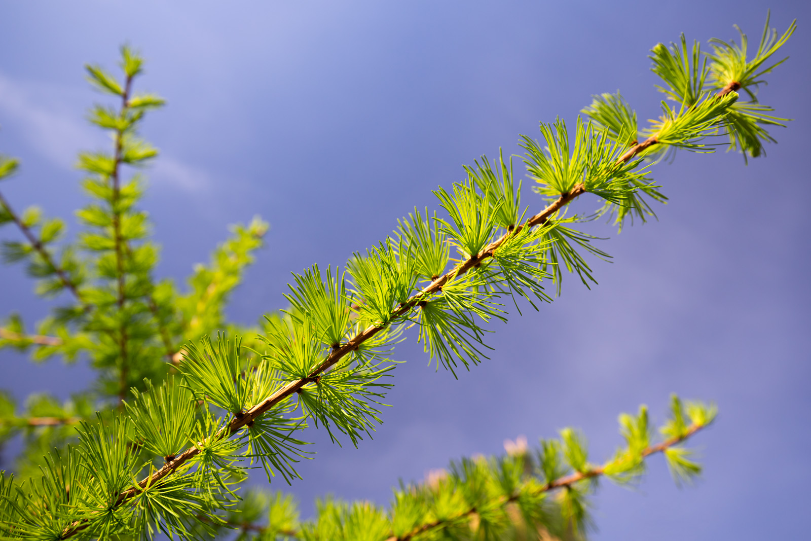 Newly-emerged needles of <i>Larix laricina</i>