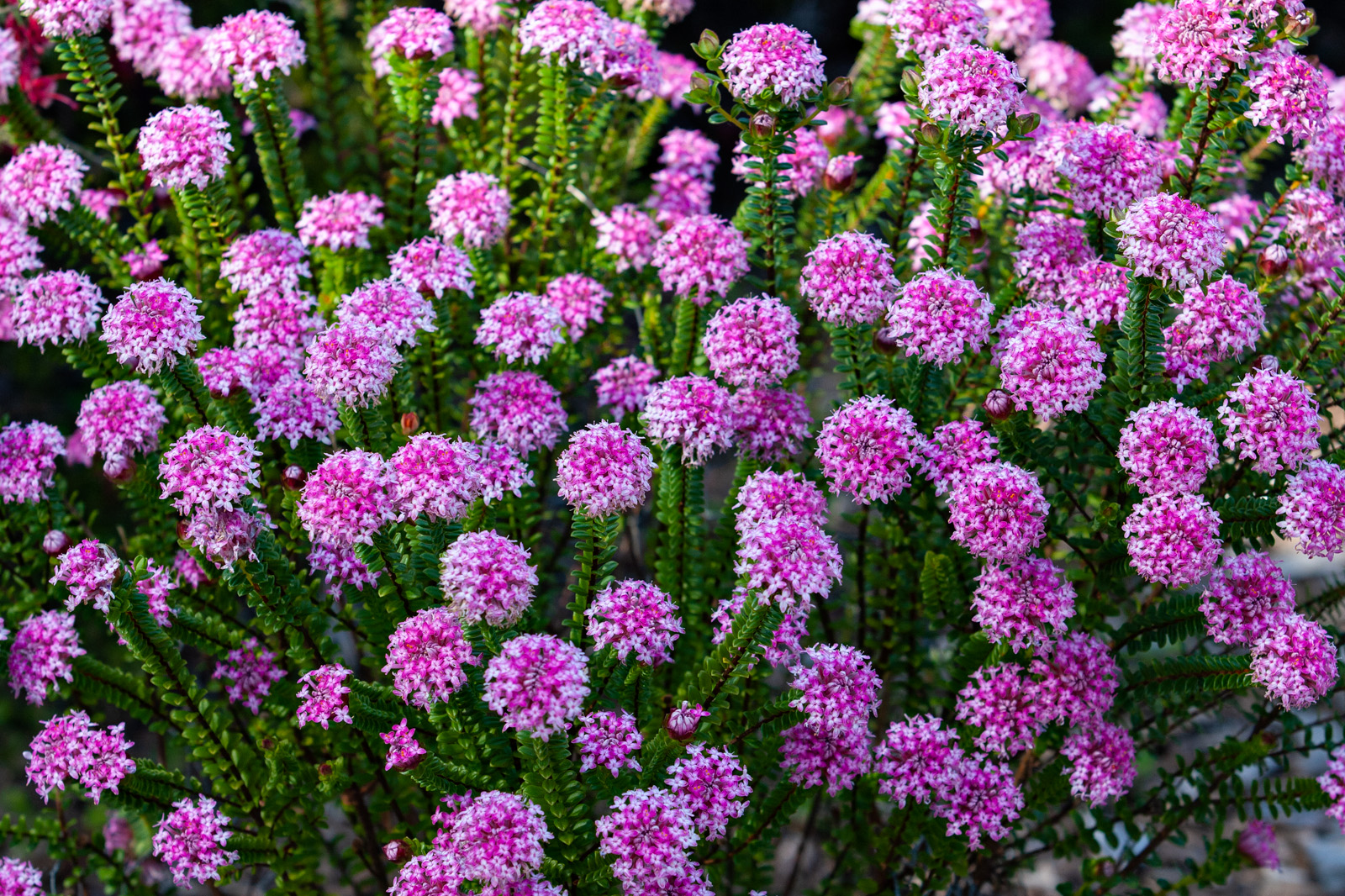 A mass of inflorescences on <i>Pimelea ferrugina</i> 'Bonne Petite'