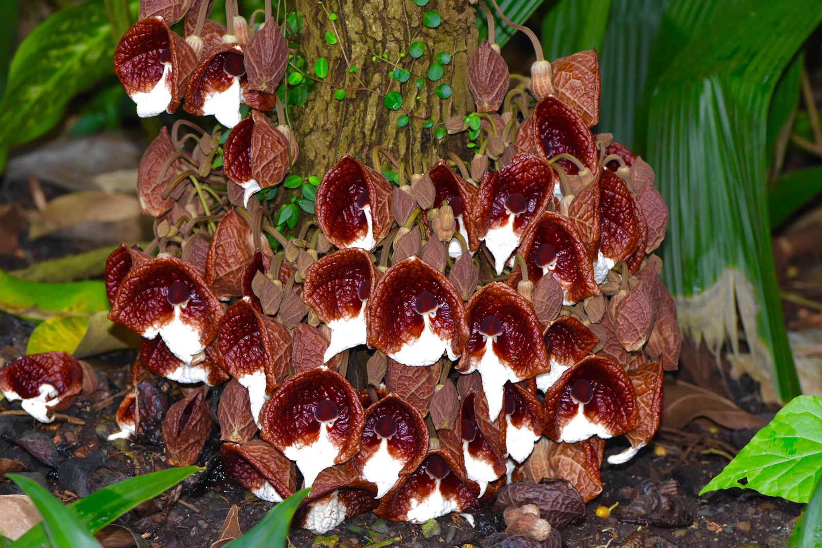 Flowers of <i>Aristolochia arborea</i>