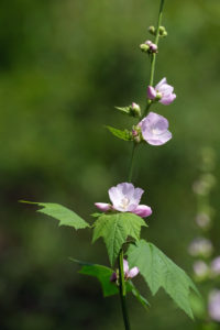 Iliamna rivularis, or mountain hollyhock