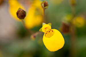 Close-up of Calceolaria biflora flower
