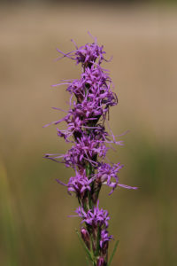 Flowers of Liatris punctata along the stem