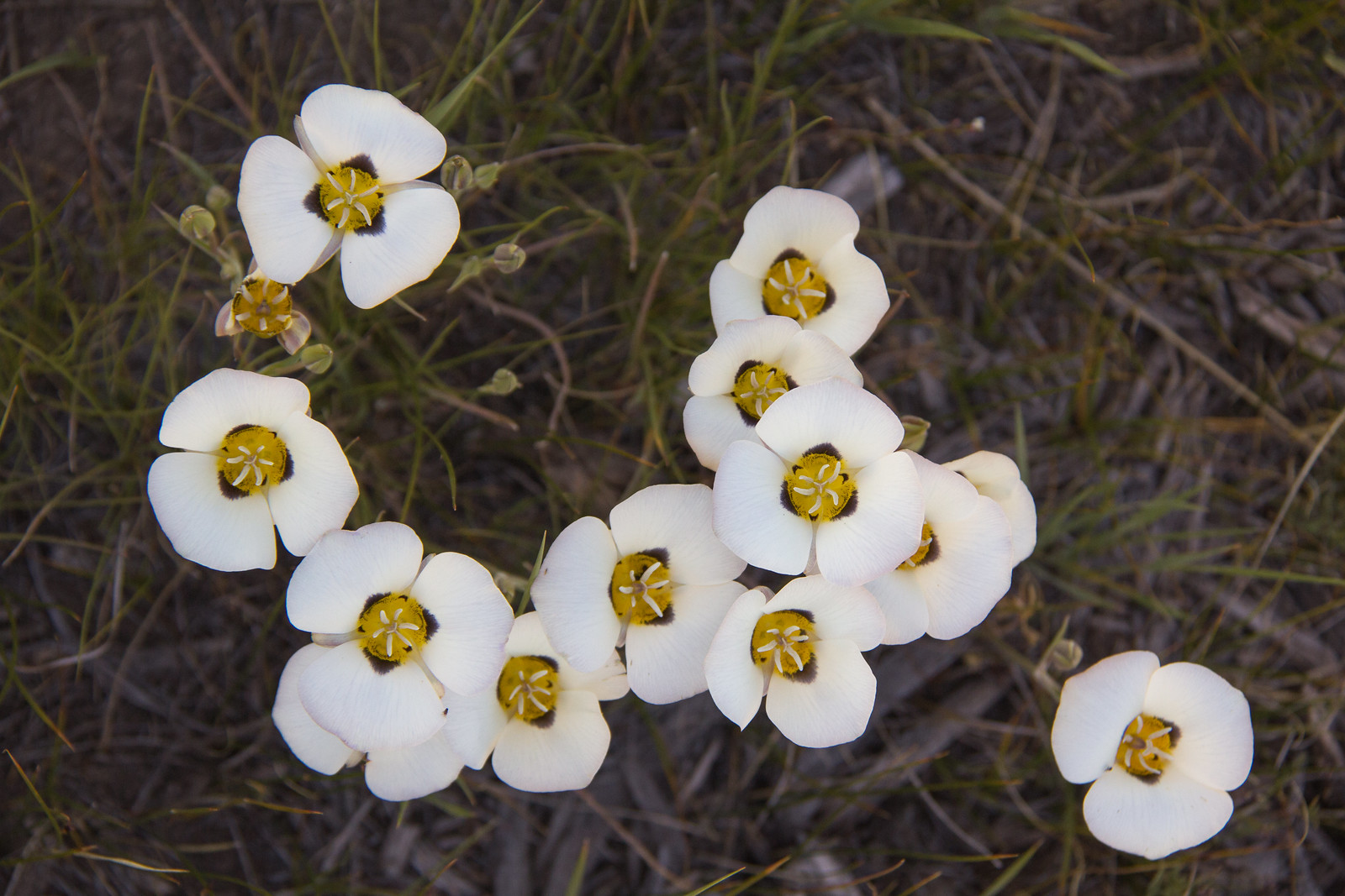 The flowers of <i>Calochortus leichtlinii</i>