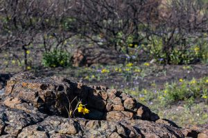 Calochortus amabilis stands out against a rock and post-burn landscape