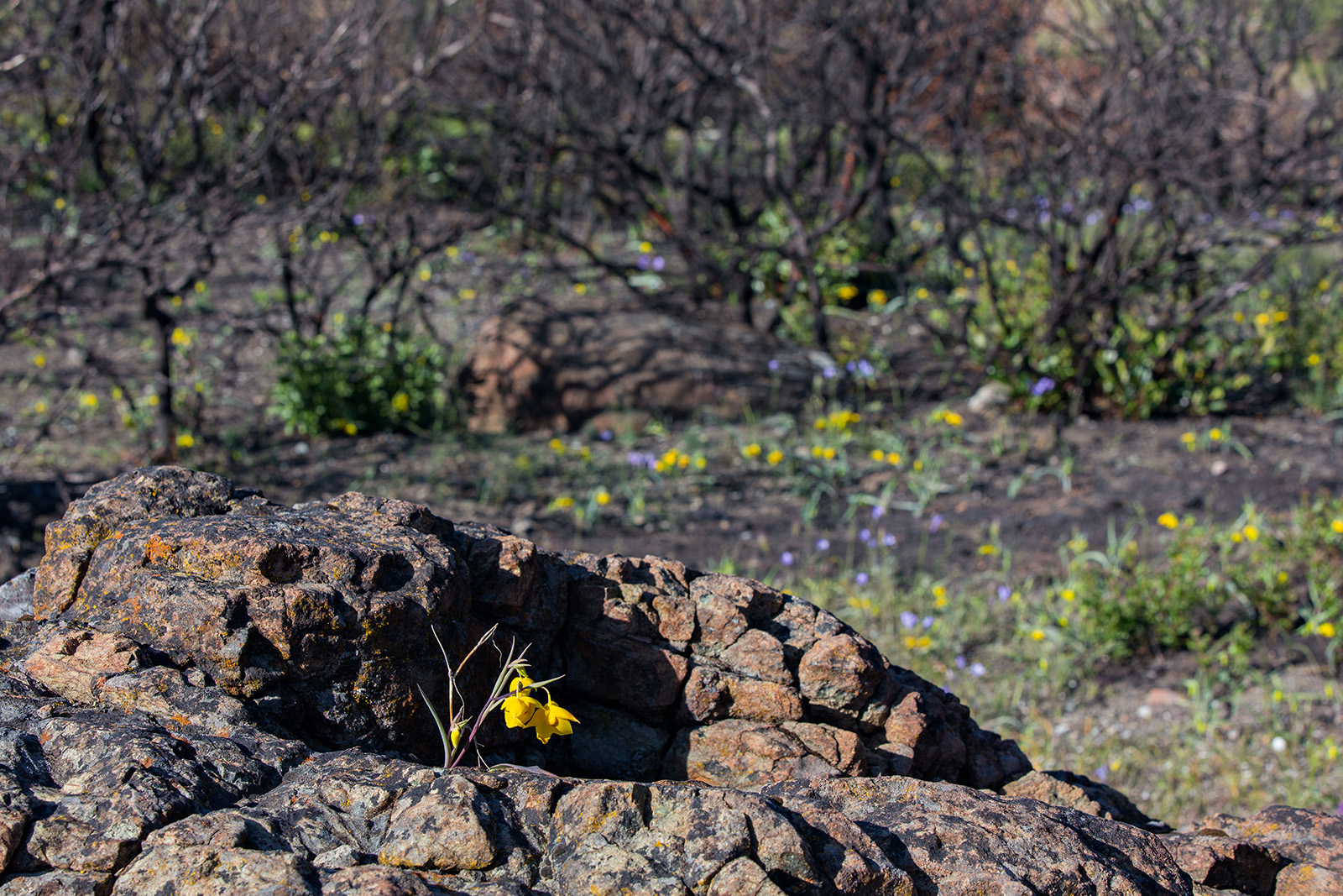 <i>Calochortus amabilis</i> stands out against a rock and post-burn landscape