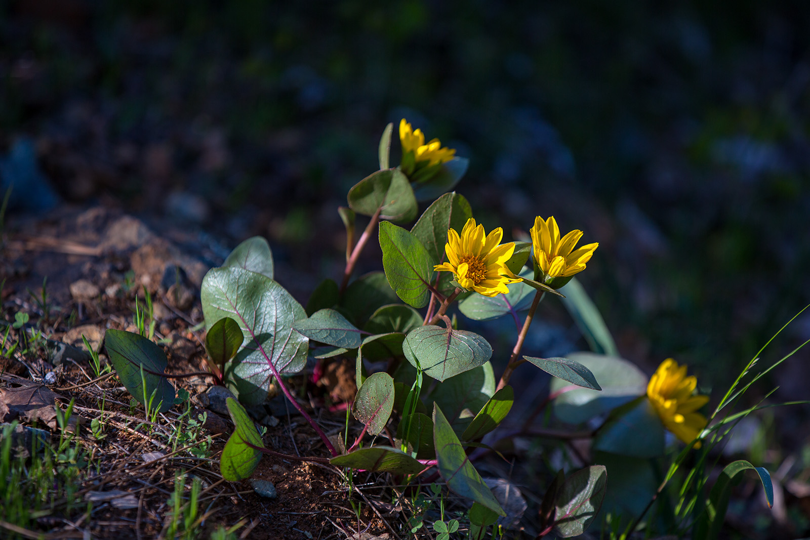 Flowers and foliage of <i>Wyethia bolanderi</i>